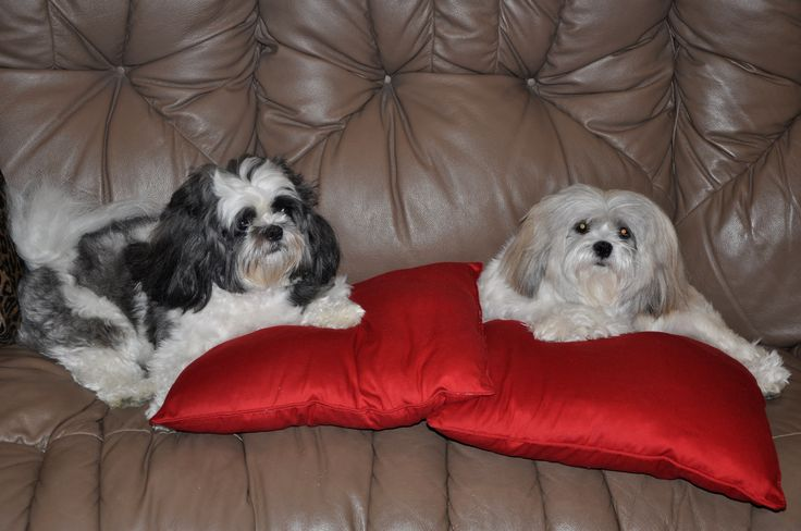74 Best Shit Shu Images On Pinterest Shih Tzus Pets And