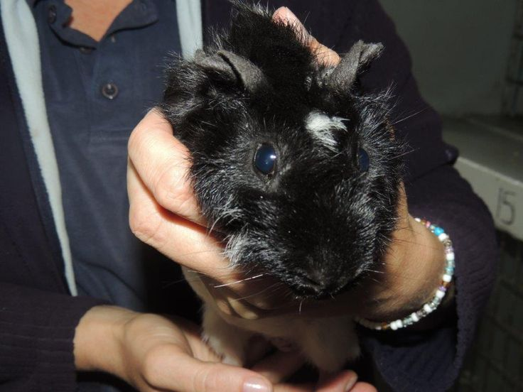Guinea Pig:  Ask at reception about me.  I am a cute, black and white, male.
