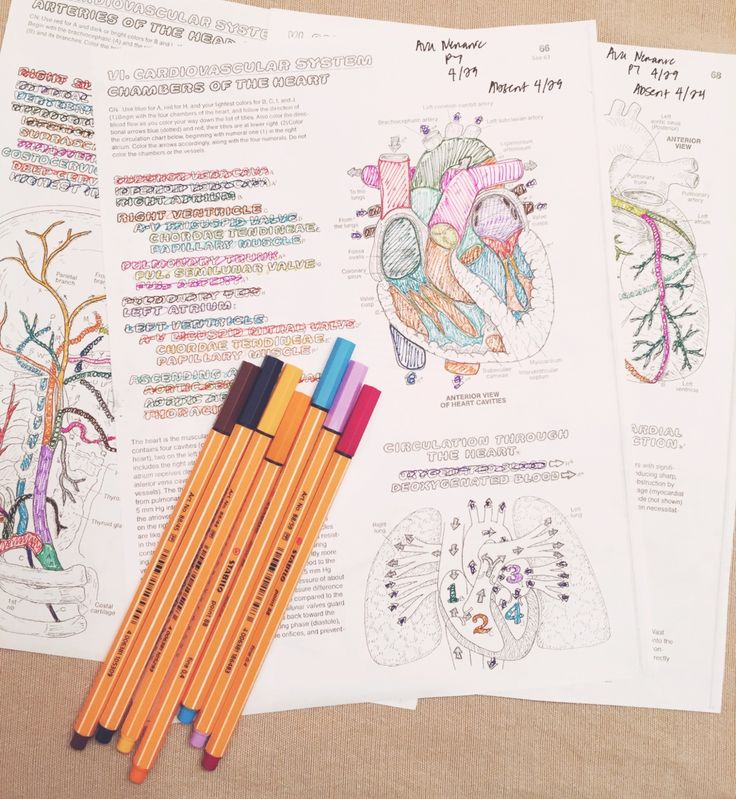 "sunnyscully: "" april 29, 6:41 pm // more color coding for anatomy! these diagrams are amazing, but they definitely take forever to finish. """