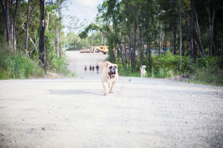 Running of the Bulls - Macca (Allottabull Soulman) in front, Skye behind, both Aussie Bulldogs