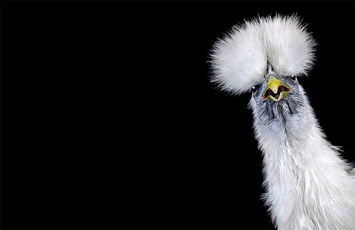 Фотографии с куриного конкурса красоты от Ernest Goh. (7 фото)