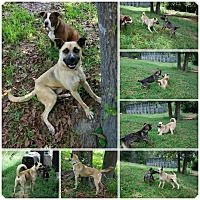 Pictures of Gabriel a Anatolian Shepherd/Boxer Mix for adoption in Bishopville, SC who needs a loving home.
