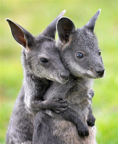 This baby swamp wallaby has her buddy's back. Literally.