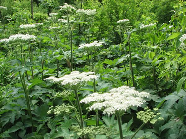 Prairie Moon Nursery: Heracleum maximum (Cow Parsnip)