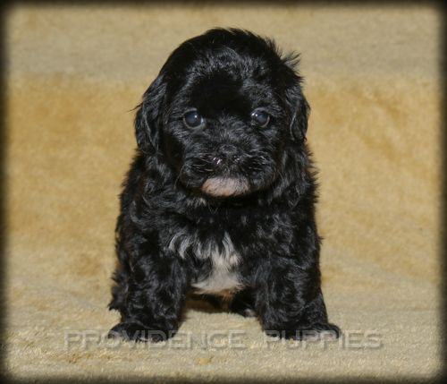 Zuchon puppy for sale in WAYLAND, IA. ADN-42025 on PuppyFinder.com Gender: Female. Age: 10 Weeks Old