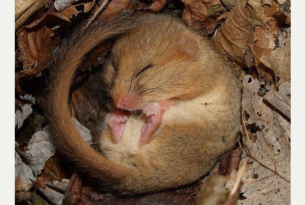 Cute hibernating dormouse