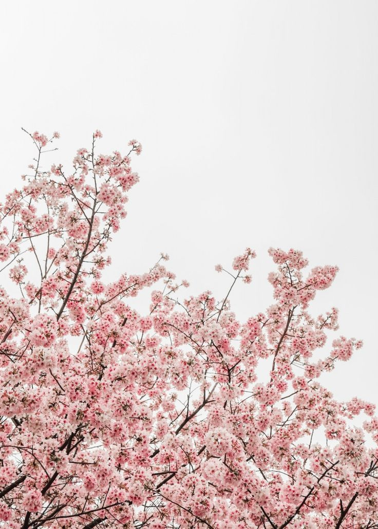 Pink Cherry Blossom Trees Poster By Bear Amber Art Displate Blossom Trees Flower Aesthetic Cherry Blossom Pictures