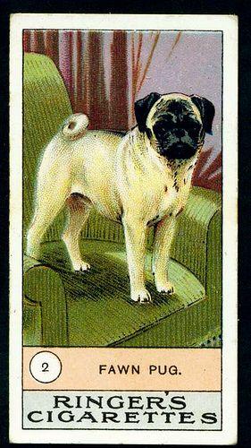 1908 Cigarette Card - Pug  Edwards Ringer & Bigg Cigarettes   No2 Fawn Pug.
