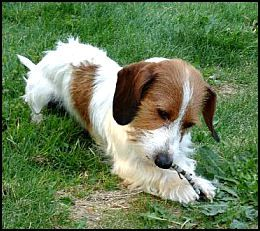 omg. red and white piebald wire haired dachshund. i die.