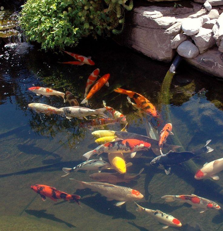 Sep 2007 koi pinterest estanques acuario y carpa for Estanque de carpas