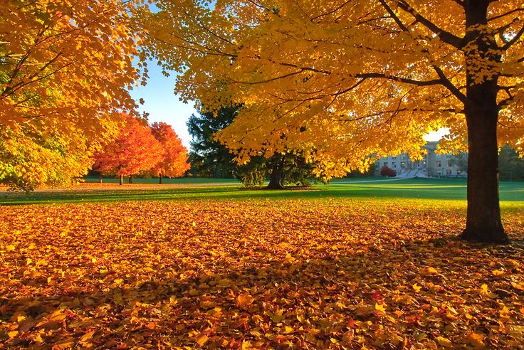 """""""Yellow morning on Central Campus. Iowa State."""" I love the change of seasons in the Midwest!"""