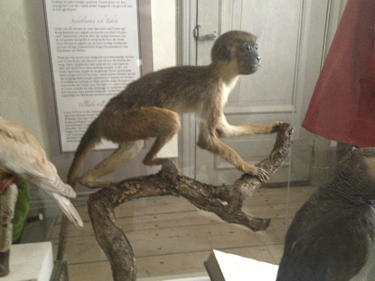 Taxidermy of a Monkey in the House of Carl Linneaus in Uppsala