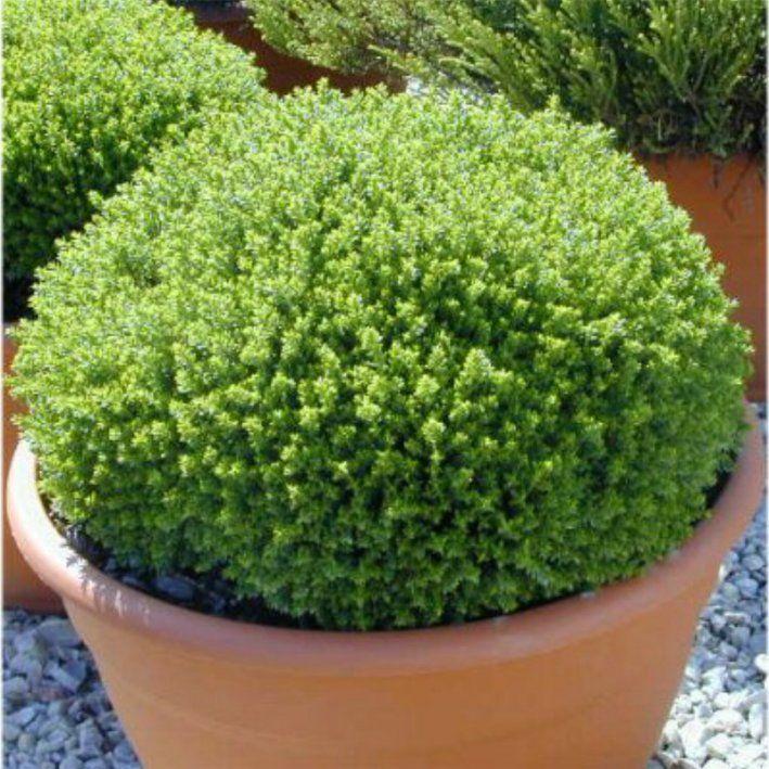 Passionnément jardin: Ballade chez Floralux | Hebe Emerald Green