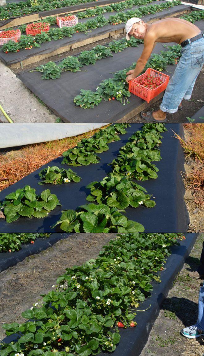 Инструкция посадки садовой земляники на нетканый материал.
