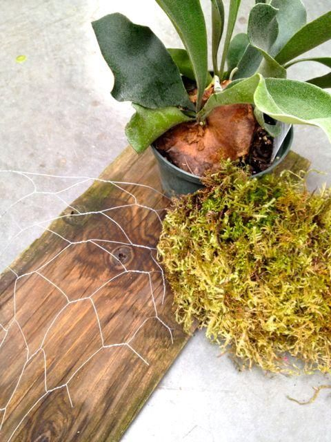 38 Best Images About Staghorn Fern On Pinterest Gardens