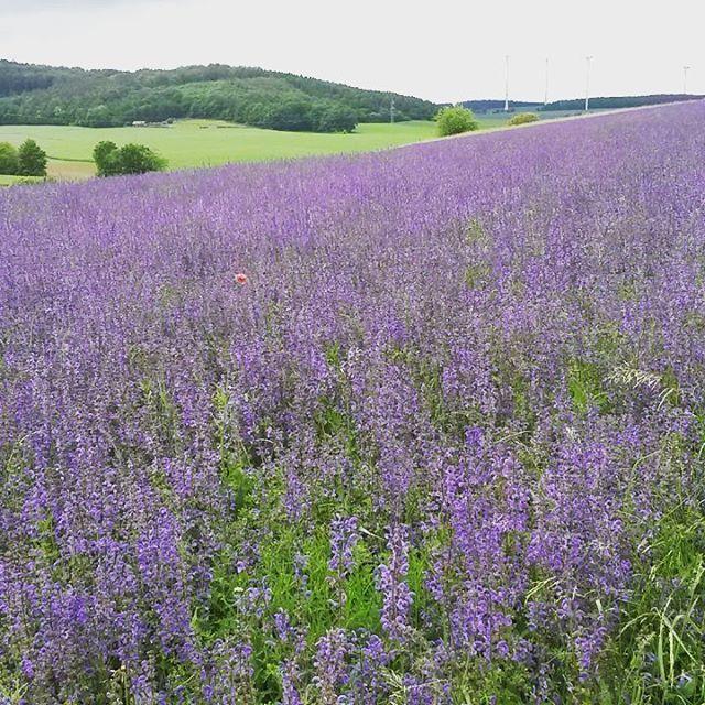 Summe und brummen im #Salbei #Feld. Dafreuen sich die #Bienen #Honig #Honigbienen ❤ #Agrarbetrieb #Blumenwiese #Blumenfeld #Blumenwiesenpatenschaft  ❤