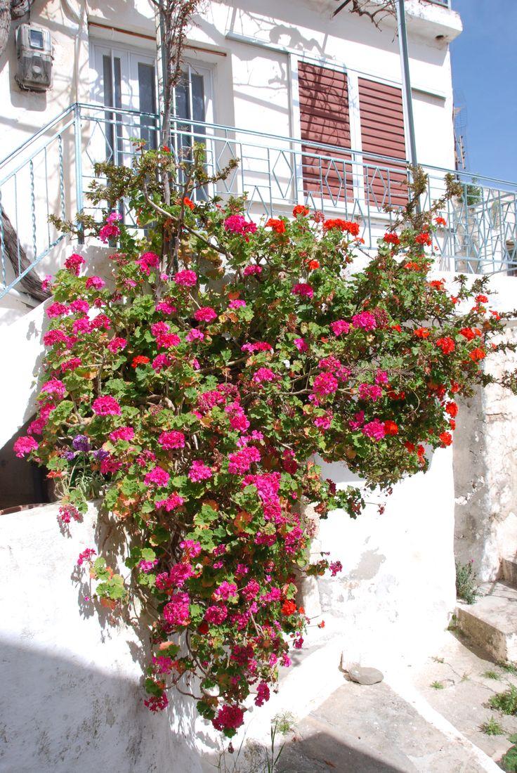 Flowers in Pefki