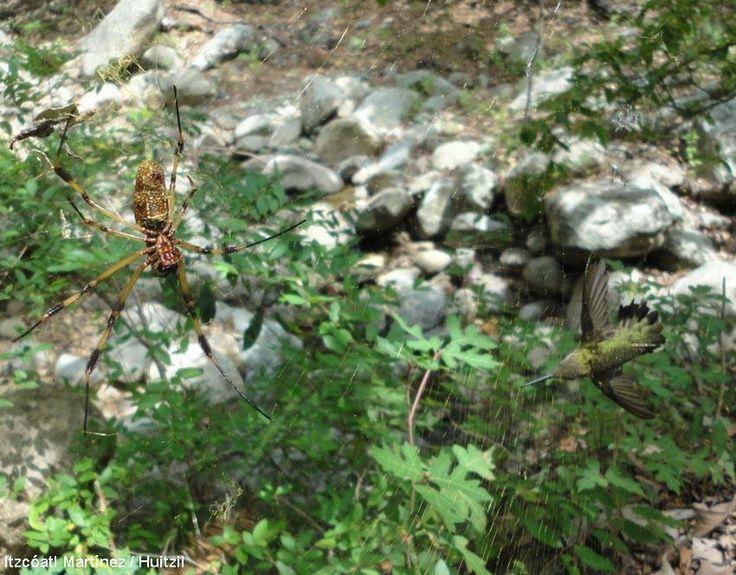 Un colibri piégé dans une toile d'araignée au Mexique   Trois biologistes ont découvert une femelle de Colibri à gorge rubis emprisonnée dans une toile de néphile. Ils ont décidé de la libérer, fallait-il selon vous laisser faire la nature ? Photographie : Itzcóatl Martínez / Huitzil #ornithologie #zoologie #oiseaux #nature