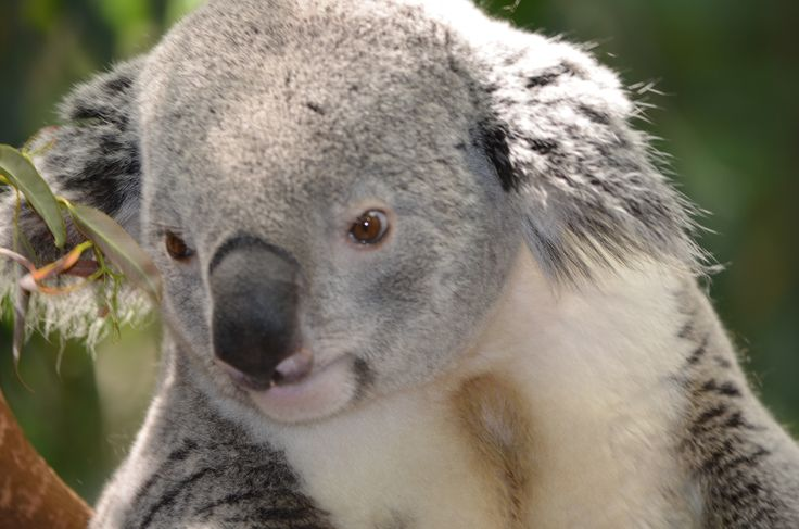 17 Best images about Koala on Pinterest | Parks, Funny ...