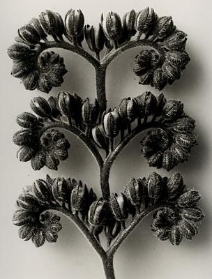 Google Image Result for http://shelleysdavies.com/wp-content/uploads/2011/03/karl-blossfeldt...jpg