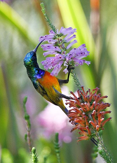 An orange-breasted sunbird (Anthobaphes violacea) on a branch of an erica bush in a valley of the Table Mountain national park in Cape Town, South Africa