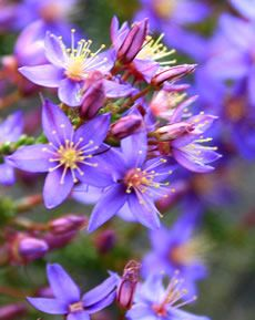wild flowers | Western Australian Native Wildflowers