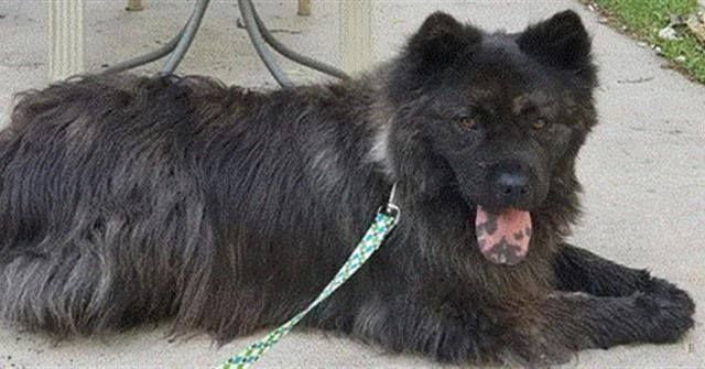 Lost Dog Alexandria Breed Chow Chow Mix Female Date Lost 06