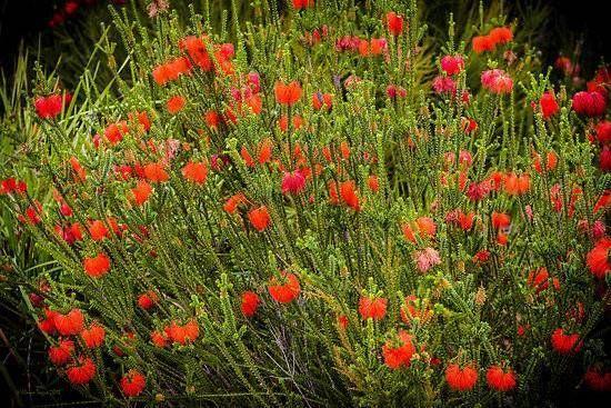 Sand Flameflower (Beaufortia squarrosa)