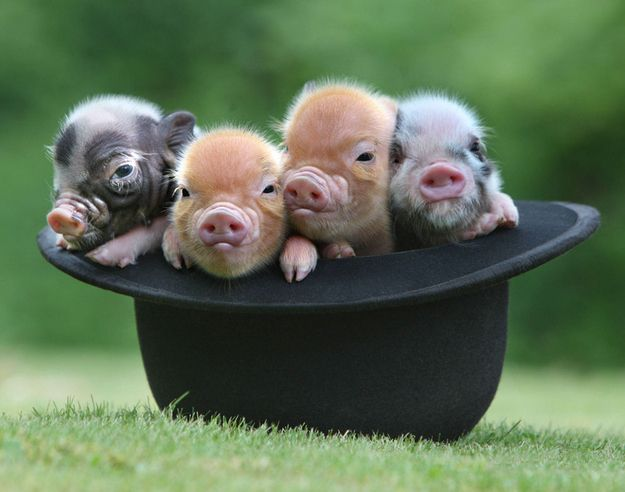 """""""Four Pigs in One Black Hat""""   The 20 Pictures Of Miniature Pigs You Need To See Before You Die"""