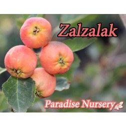 Crataegus (Mayhaw) = Zalzalak (Persian)
