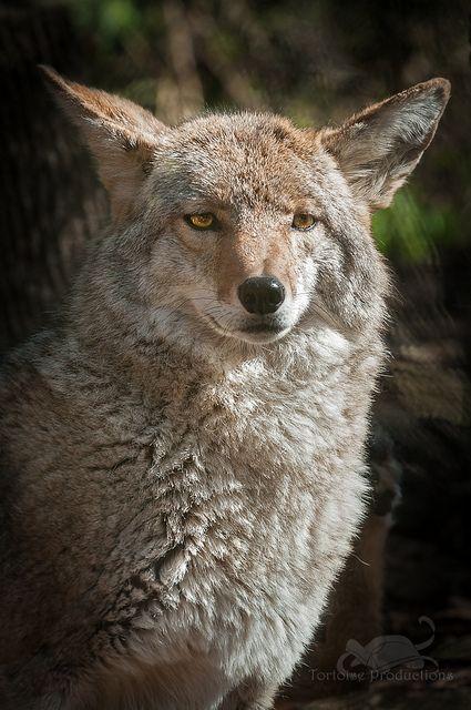 ~~Coyote by Holly Kuchera~~