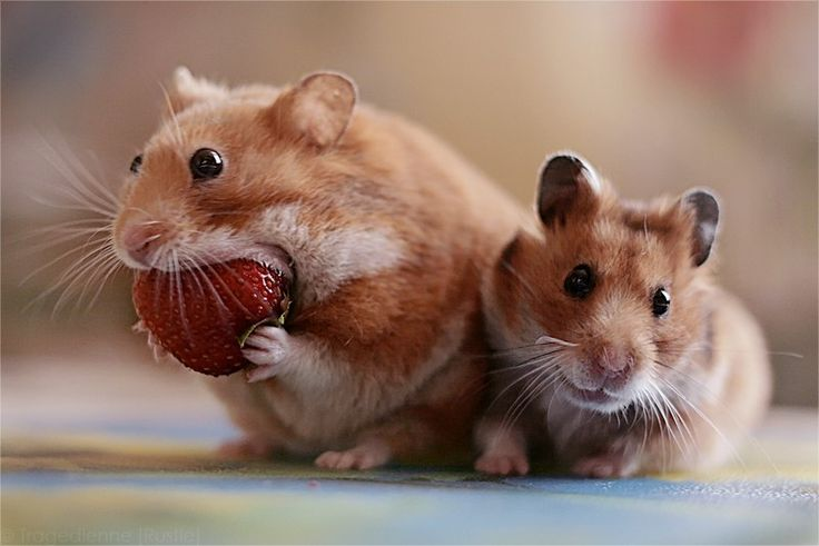 Mouse Eating A Strawberry Fruit Strip Mouse Pinterest