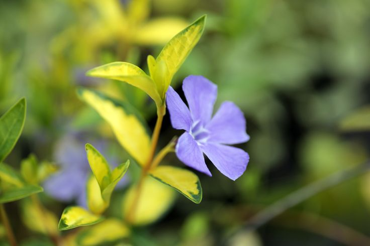 "Vinca minor ""Illumination"" is a brightly coloured variegated form of the Periwinkle. Plenty of blue flowers, but now with golden foliage. Stunning. (While we keep a fantastic range of plants in stock 12 months of the year, we would advice giving us a ring if you are looking for a specific plant, call us now on 01924 276446)"