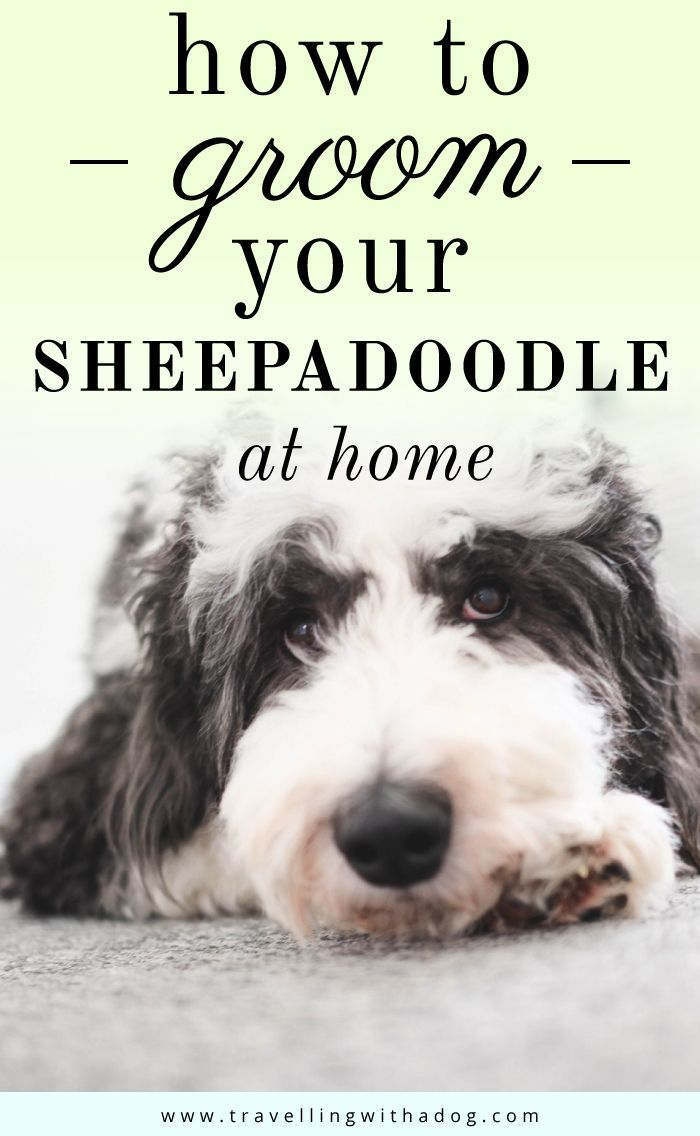 How To Groom Your Sheepadoodle At Home Sheepadoodle Puppy