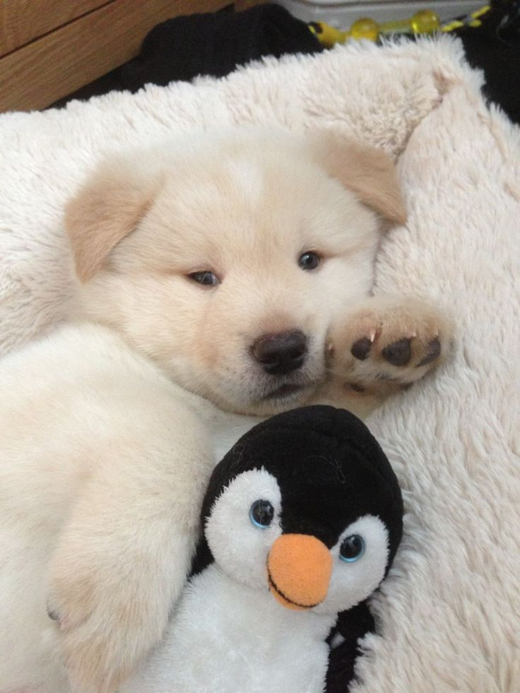 White and cream Akita puppy for sale. | Liverpool, Merseyside ...