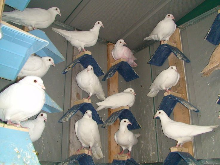 Recessive Red And Yellow Racing Homing Pigeons For Sale In New Jersey in Little Ferry, New Jersey - Hoobly Classifieds