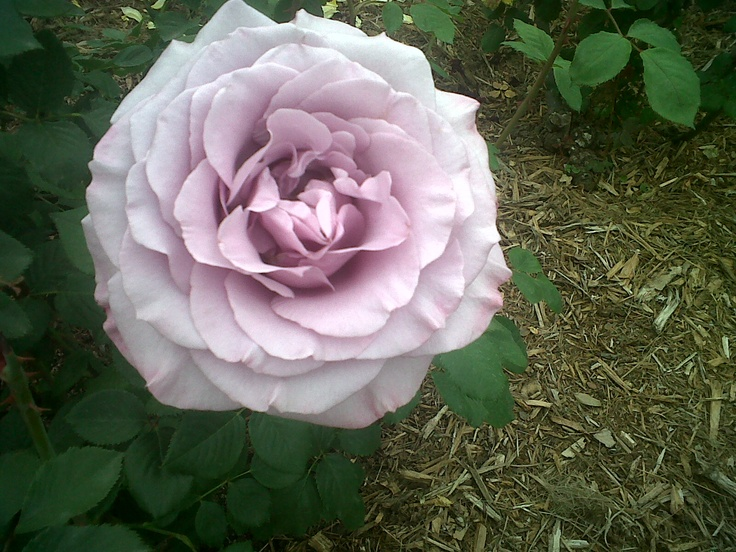Sterling Silver Rose, my favorite fragrance. The Rose Garden at the Huntington Library in Pasadena, CA.