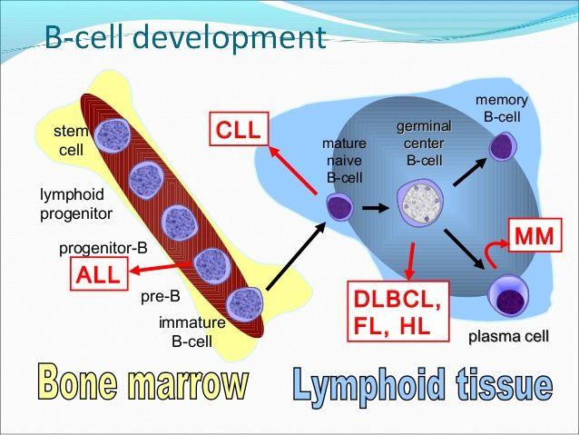 B Cell Activation Germinal Center pre-germinal ce...