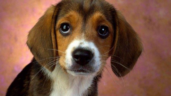 Bellissimi occhi del cucciolo beagle