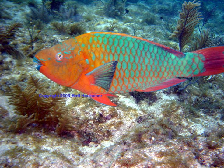The rainbow parrotfish scarus guacamaia is a species of for Rainbow fish species