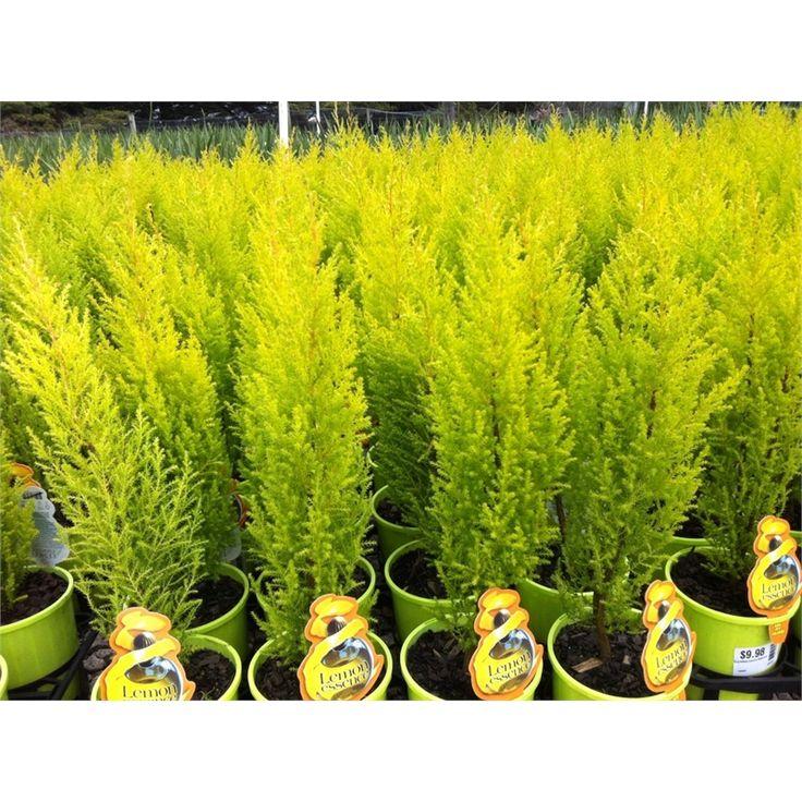 140mm Cupressus Lemon Essence | Plants | Pinterest | Lemon