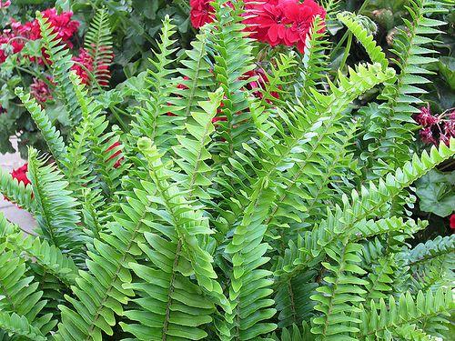 Maale Adumim, Israel - Gardens, 06 neighborhood (צמח השדה), fern: Photo