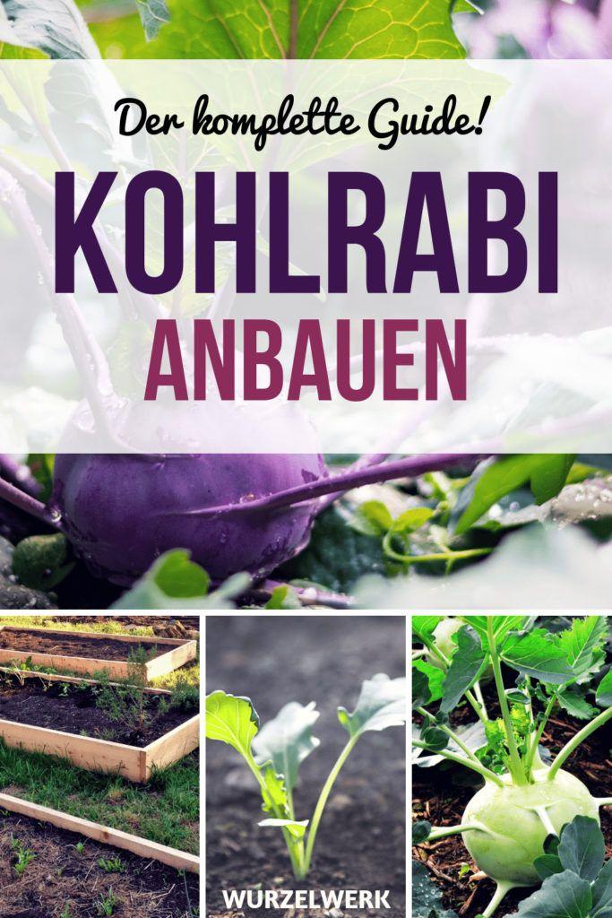 Der komplette Kohlrabi-Guide: Pflanzen, Anbauen & Ernten – Wurzelwerk: Gemüsegarten-Tipps!