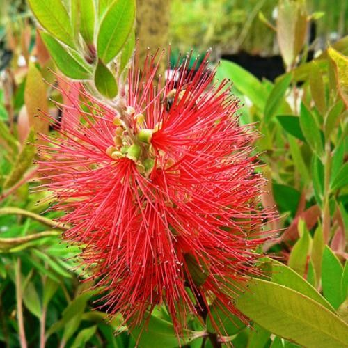 Callistemon 'Endeavour' red-flowered bottlebrush which makes an excellent 3m hedge that will attract wild birds