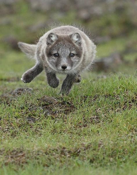 Flying Arctic Fox Cub by Menno Schaefer | Fox | Arctic fox