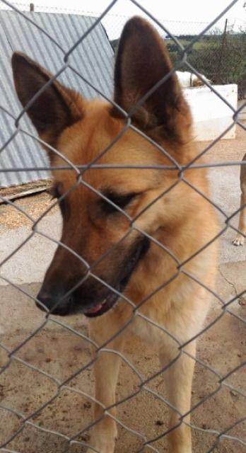 La preciosa SENA fue encontrada en las afueras de Villanueva, nos dieron varios avisos de que un pastor... #adoptar #mascotas #adopcion #perros #gatos