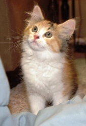 Primrose is an adoptable Domestic Long Hair Cat in Saint Charles, MO. Hi! My name is Primrose. I am a beautiful tortishell kitten that loves to play. I have lots of energy but I love people.   http://www.petfinder.com/petdetail/23478352