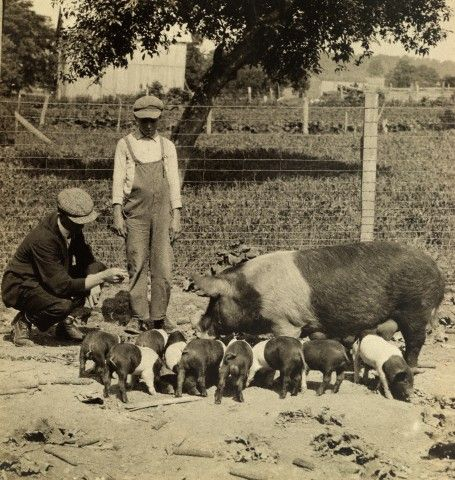 FARM BOY: A boy learns about raising pigs on a farm. Lots of pigs. 1918