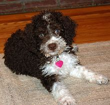 Spanish Water Dog - Wikipedia, the free encyclopedia