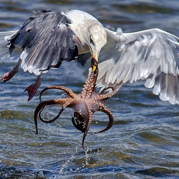 La drammatica lotta tra l'uccello e il grande mollusco immortalata nelle acque al largo della California